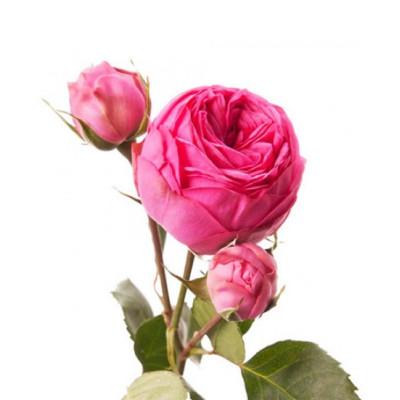 Кустовая пионовидная роза